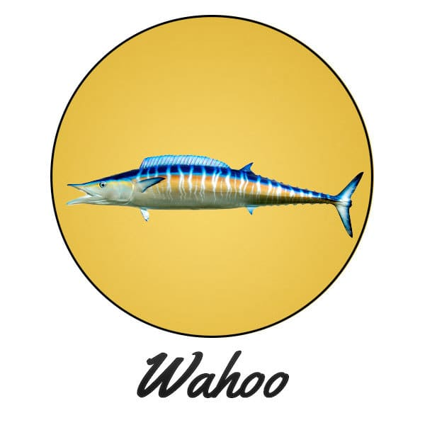 Wahoo Fishing